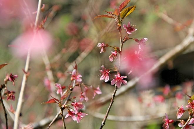muangthai-cherry-2734637_1280